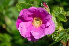 Flor de Hibiskus con la abeja Imágenes de archivo libres de regalías