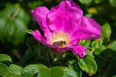 Flor de Hibiskus con la abeja Imagenes de archivo