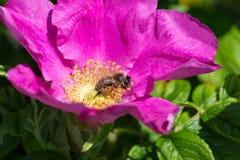 Flor de Hibiskus con la abeja Foto de archivo libre de regalías