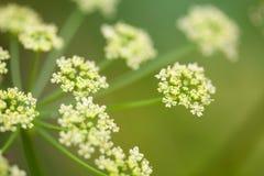 Flor de hinojo en el campo Fotos de archivo libres de regalías