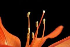 Flor de Hippeastrum Fotografía de archivo libre de regalías