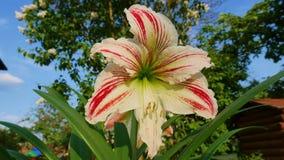 Flor de Hippeastrum em um fundo da grama verde na estação de mola Fotografia de Stock