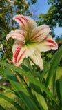 Flor de Hippeastrum em um fundo da grama verde na estação de mola Imagens de Stock