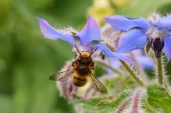 Flor de Honey Bee y de la borraja Imágenes de archivo libres de regalías