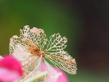 Flor de Hotensia whitered Fotografía de archivo
