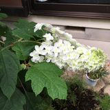 Flor de Hydrengeas foto de stock royalty free
