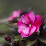 Flor de Impatiens Fotografía de archivo libre de regalías