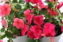 Flor de Impatiens Balsamina fotografia de stock royalty free