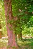 Flor de Ivy Tree no parque Leeds Castle Kent Reino Unido imagem de stock