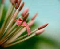 Flor de Ixora Fotografía de archivo