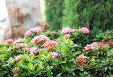 Flor de Ixora Fotos de archivo