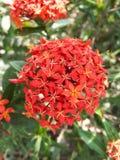 Flor de Ixora Foto de Stock Royalty Free