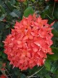 Flor de Ixora Imagen de archivo libre de regalías