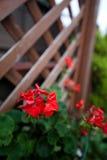 Flor de Japão Imagens de Stock Royalty Free