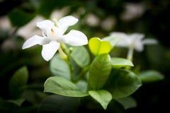 Flor de Jasmine Vine Fotografia de Stock Royalty Free