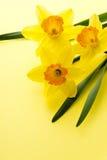 Flor de Jonquil foto de stock royalty free