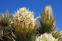 Flor de Joshua Tree (brevifolia de la yuca) Imágenes de archivo libres de regalías