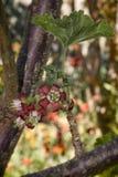Flor de Jostabarry & x28; Nidigrolaria& x29 do Ribes; Imagens de Stock Royalty Free