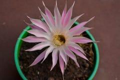 Flor De Kaktus Zdjęcie Royalty Free