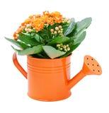 Flor de Kalanchoe Fotografia de Stock