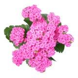 Flor de Kalanchoe Imagens de Stock Royalty Free