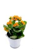 Flor de Kalanchoe Foto de Stock Royalty Free
