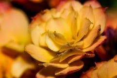 Flor de Kalencoe Fotografía de archivo libre de regalías