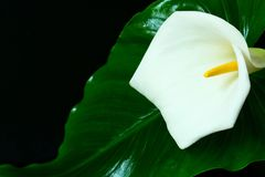 Flor de Kalla Las heces blancas florecen en un fondo negro Flor blanca grande en negro foto de archivo