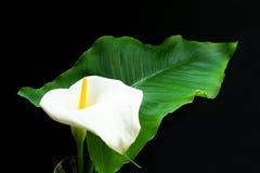 Flor de Kalla Las heces blancas florecen en un fondo negro Flor blanca grande en negro fotografía de archivo libre de regalías