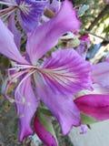 Flor de Kanchan Foto de archivo libre de regalías