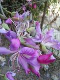 Flor de Kanchan Imagenes de archivo