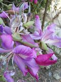 Flor de Kanchan Foto de archivo