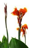 Flor de Kolaboti Foto de archivo libre de regalías