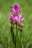 Flor de Krachiao imagens de stock royalty free