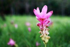 Flor de Krachiao em Tailândia Imagem de Stock