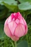 flor de lótus Fotografia de Stock