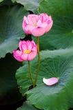 A flor de lótus Fotos de Stock Royalty Free
