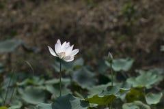 A flor de lótus Imagens de Stock