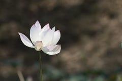 A flor de lótus Imagem de Stock