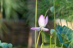 A flor de lótus Foto de Stock Royalty Free