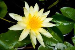 Flor de lótus amarelada foto de stock royalty free