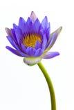 Flor de lótus azuis e fundo branco. fotos de stock royalty free