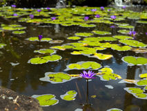 Flor de lótus azul e cor-de-rosa Fotos de Stock