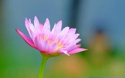 Flor de lótus bonita Imagem de Stock