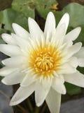 Flor de lótus bonita Foto de Stock