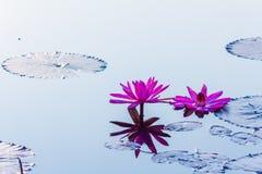 A flor de lótus bonita da flor na lagoa de Tailândia reflete na água Imagens de Stock