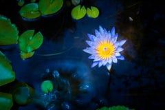 Flor de lótus bonita na água fotografia de stock