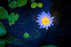 Flor de lótus bonita na água imagem de stock