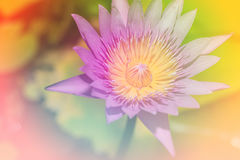Flor de lótus bonita na florescência Foto de Stock Royalty Free