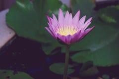 Flor de lótus bonita na florescência Imagens de Stock